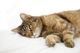 15 причин рвоты у кошки